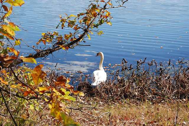 A swan in Framingham.